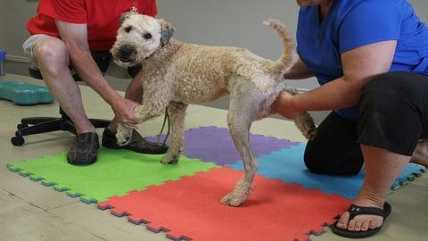 Post-Op CCL Rehabilitation for Canine Rehabilitation Professionals